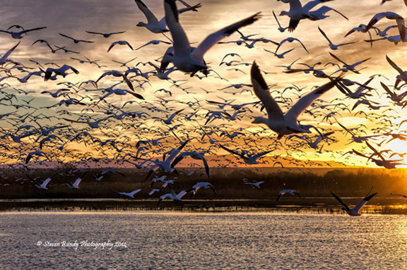 Snow Geese Ascension