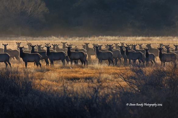 Dawson Elk