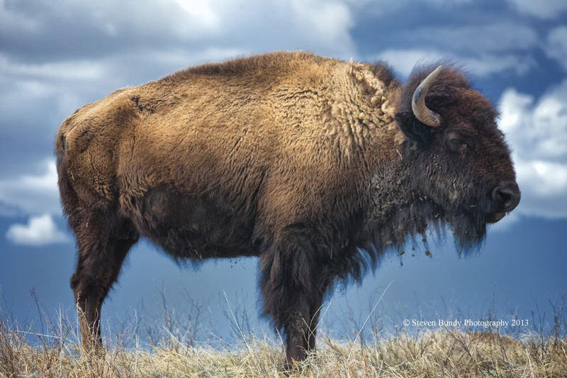 South Dakota Buffalo