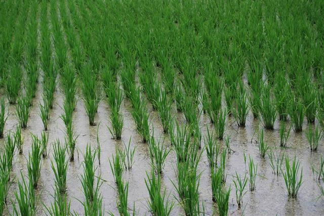 Omachi - wet field cultivation