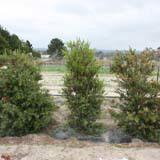 Myrtle Rust Resistant Plants