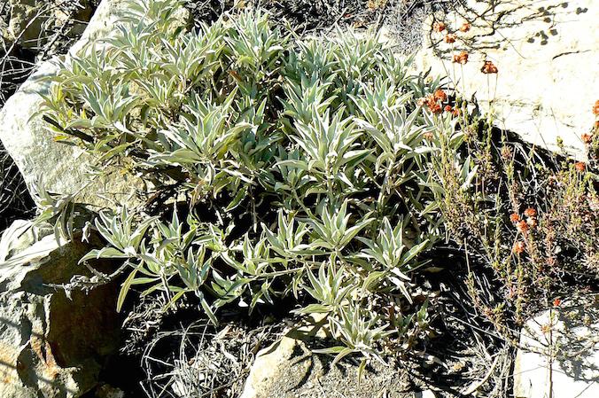 White Sage in Matilija Canyon