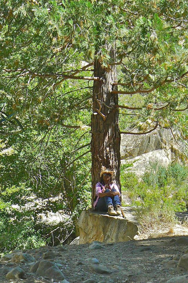 Rondia under Incense Cedar