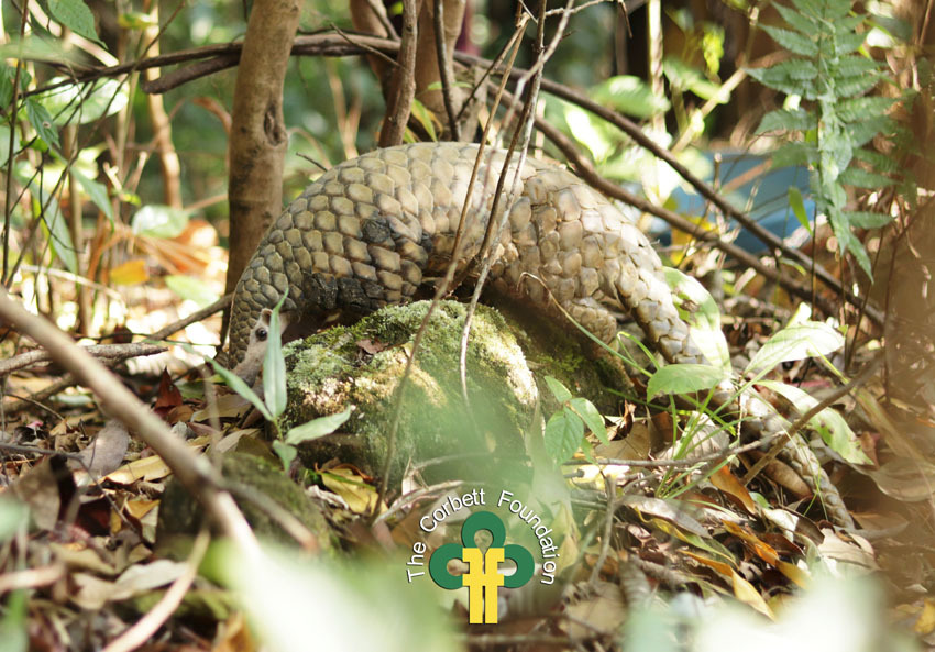 This Chinese Pangolin was rescued and safely released back into the wild by The Corbett Foundation, Rainforest Club Tamenglong and Manipur Forest Department.