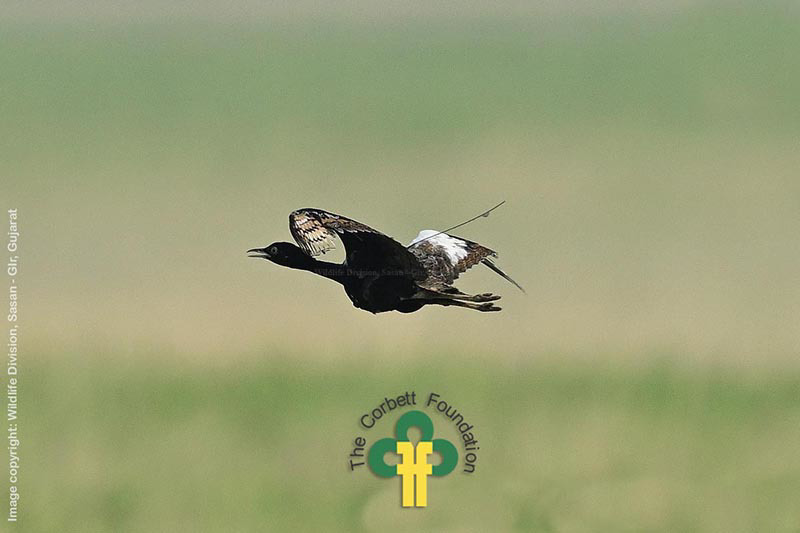 Lesser Florican (Sypheotides indicus) tagged in Velavadar, Gujarat by Wildlife Division, Sasan-Gir, Gujarat