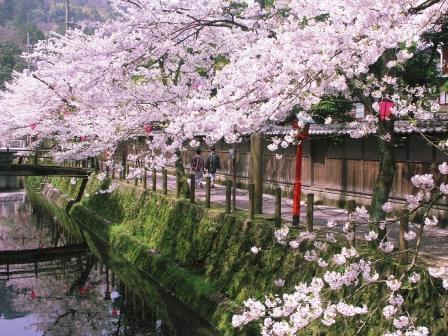 Sakura (cherry blossoms) in full bloom