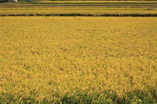 Golden Waves of Rice