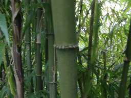 Autumn Bamboo