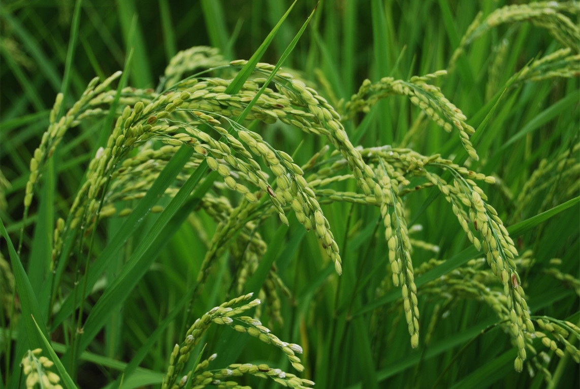 Rice Woes Continue