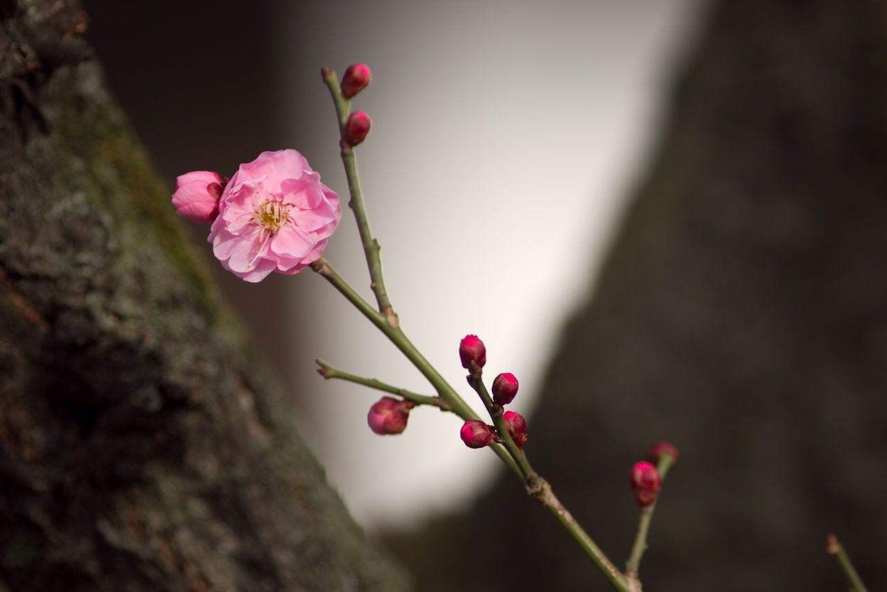 February Plum Blossoms in Bloom
