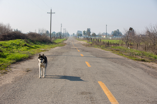 A husky on an emptry strip of road in rural America