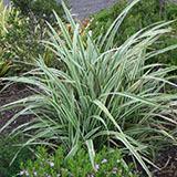 Wyeena Plant Profile