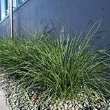 Nyalla plant profile