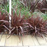 Sweet Mist plant profile